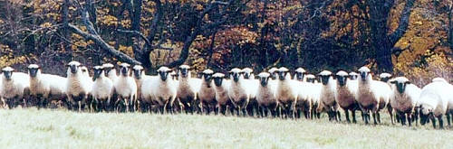 About Shropshires